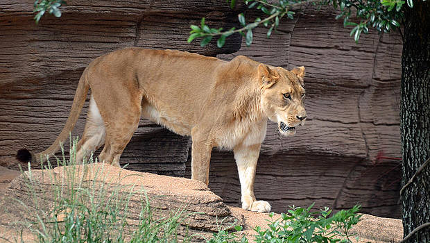 Lioness Day At The Zoo by Making Memories Photography LLC