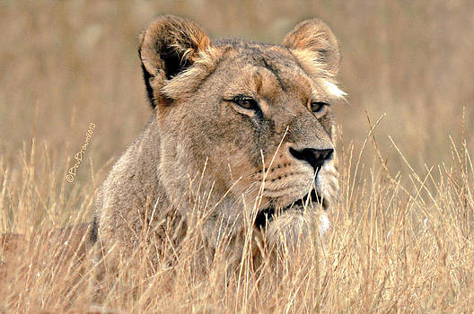 Lioness in Long Grass by Bev  Brown