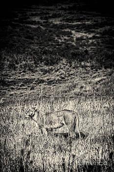 Darcy Michaelchuk - Lioness Looks Around BW