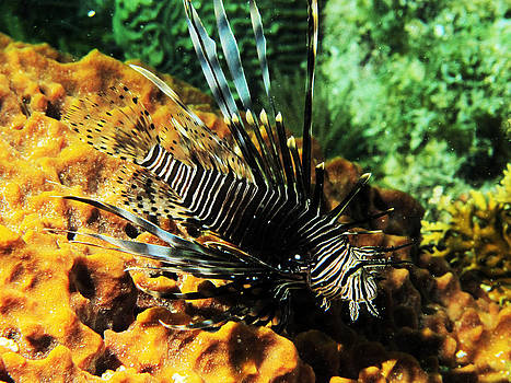 Lionfish by Brian Sevald