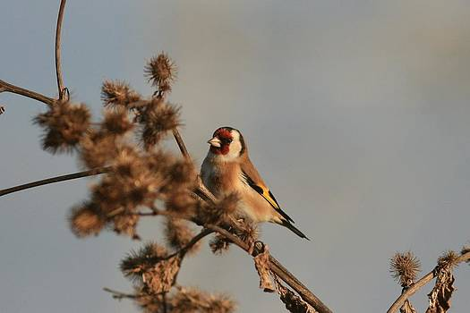 Litle Bird by Dragomir Felix-bogdan