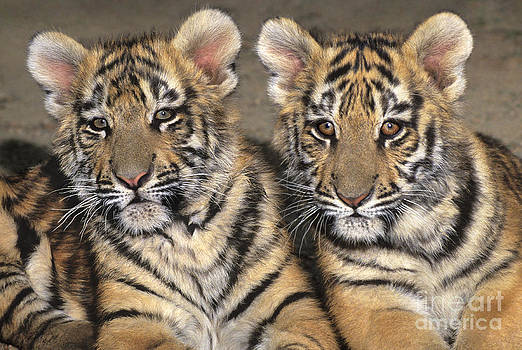 Dave Welling - Little Angels Bengal Tigers Endangered Wildlife Rescue