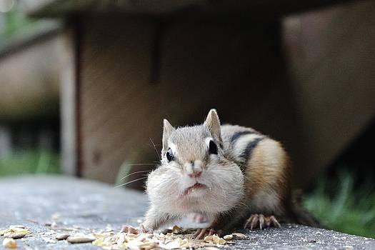 Little Chipmunk by Samantha Howell