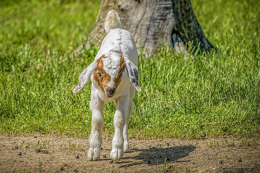 LeeAnn McLaneGoetz McLaneGoetzStudioLLCcom - Little Lamb