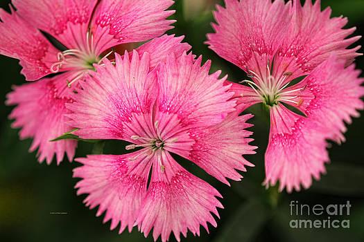 Deborah Benoit - Little Pink Beauties