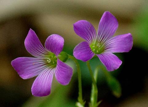 Little Purple Pretties by Kim Pate