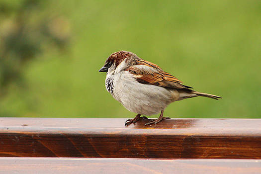 Little sparrow by Diana Dimitrova