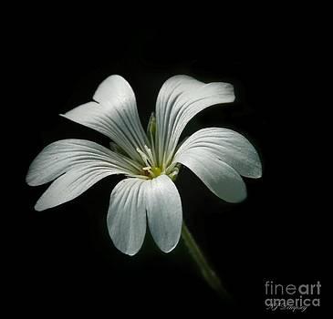Little White Flower by Nancy Dempsey