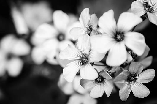 Little white flowers. by Slavica Koceva
