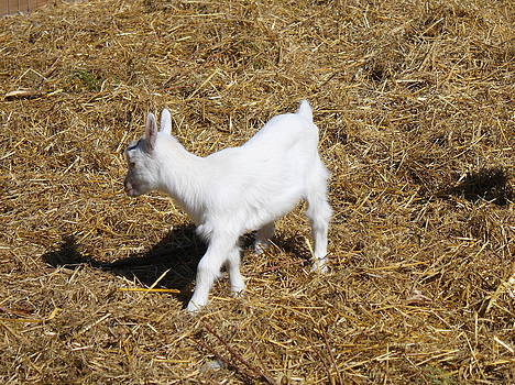 Little White Goat by Carolyn Ricks
