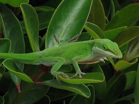 Lizard on bush by Pamela Morrow