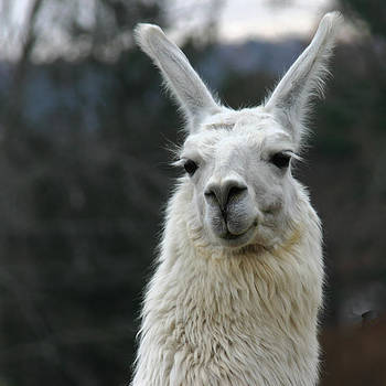 Llama Cutie by Denyse Duhaime