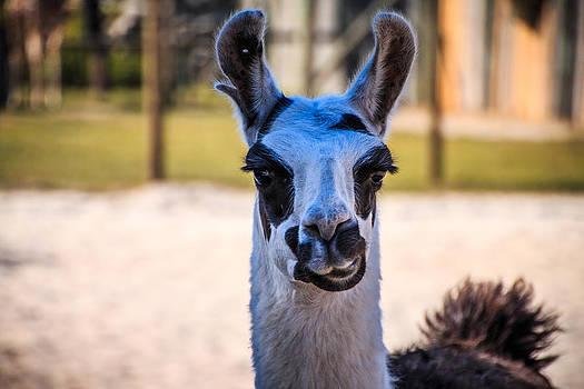Llama Llama by Brent Roberts