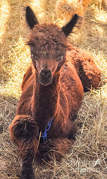 Llama Tude by Reflections by Brynne Photography