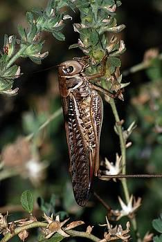 Tracey Harrington-Simpson - Locust