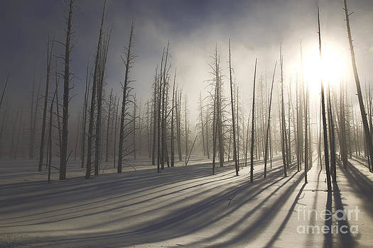 Winter Landscape- Lodgepole Pine Forest at Sunset by Feryal Faye Berber