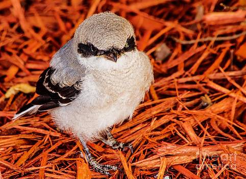 Loggerhead Shrike Bird by Imani  Morales