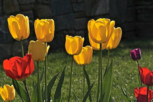 Byron Varvarigos - Lollipop Tulips and Grass and Stone Wall
