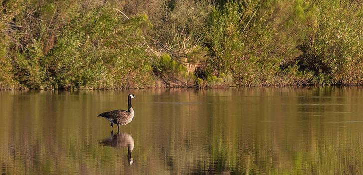 Tam Ryan - Lone Canada Goose