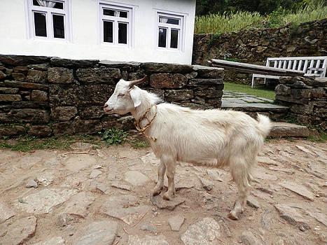 Lone Goat by Pema Hou