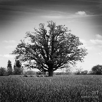 Lone Oak by Mark Clifford