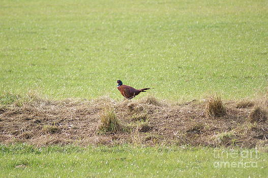 Lone Pheasant by Carol Lynch
