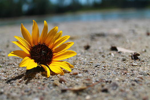 Lone Sunflower by Alicia Knust