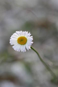 Kathy Peltomaa Lewis - Lonely Daisy