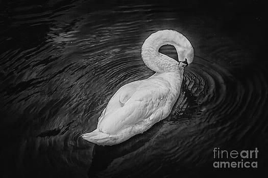 Lonely swan by Valerii Tkachenko