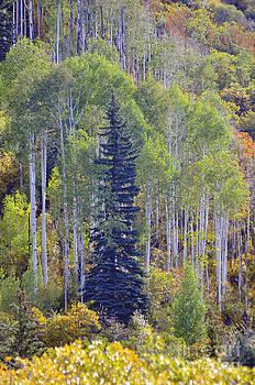 Lonesome Pine  by Juls Adams