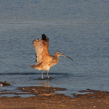 Long-Billed Curlew Flapping by Bob and Jan Shriner