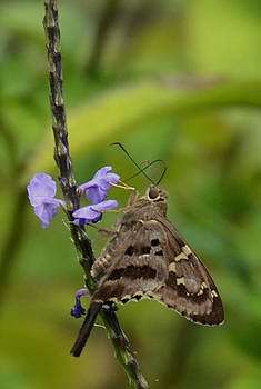 Long Tail Skipper by Julie Cameron