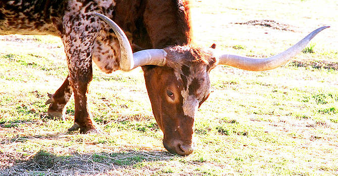 Longhorns by Rebecca West