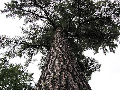 Looking Up The Red Pine Tree by Carolyn Mortensen