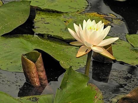 Lotus Flower in White by Jennifer Wheatley Wolf