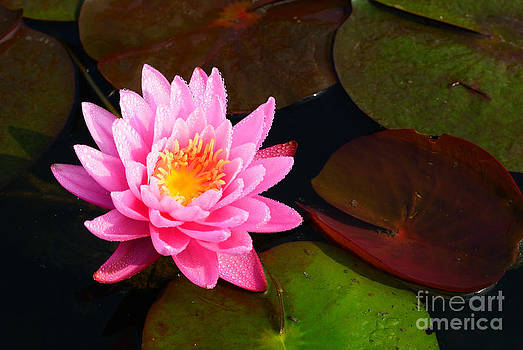 Lotus in the morning  by Pathompoom Srikudvien