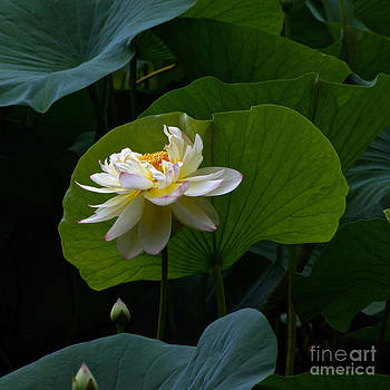 Byron Varvarigos - Lotus Pond Loveliness --- square frame