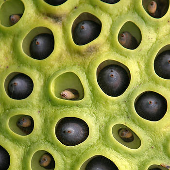 Lotus Seed Pod by Karen Lindquist