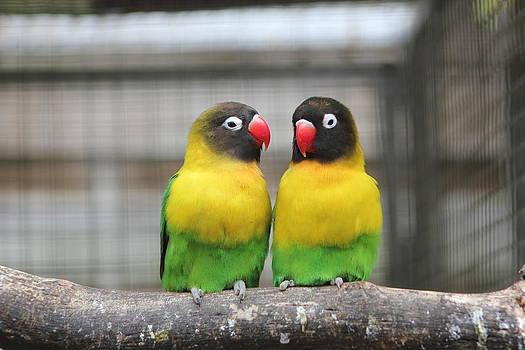 Kerry Lapcevich - Love Birds