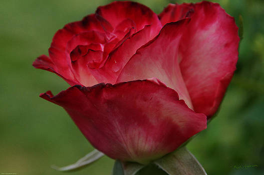 Mick Anderson - Love is a Red Rose