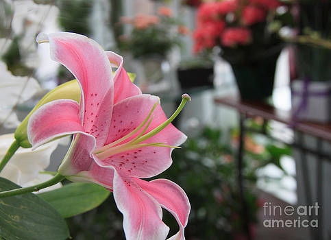 Lovely Lily by Nancy Harrison