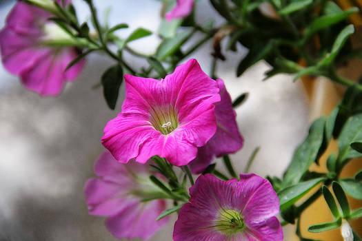 Lovely Petunias by Joan Bertucci