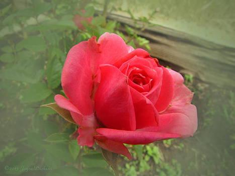 Joyce Dickens - Lovely Tea Rose