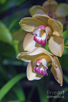 David Zanzinger - Lovely Yellow Pink Orchid