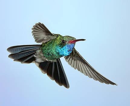 Gregory Scott - Low and Slow - Broad-Billed Hummingbird