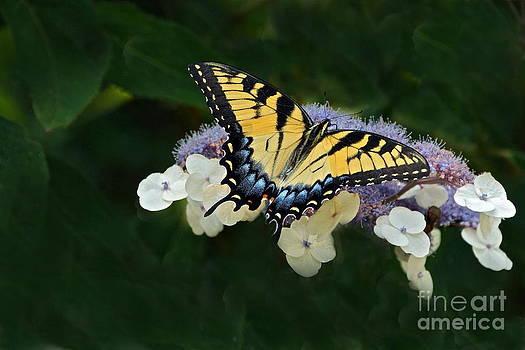 Byron Varvarigos - Luminous Butterfly on Lacecap Hydrangea