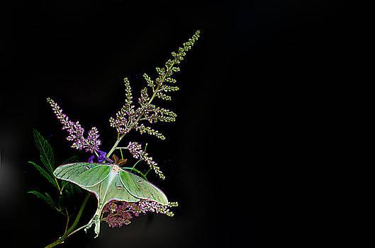 Randall Branham - Luna Moth Astilby black background