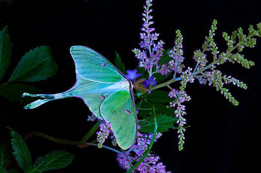 Randall Branham - Luna Moth Astilby Flower Black