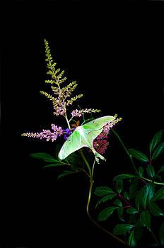 Randall Branham - Luna Moth Astilby flower