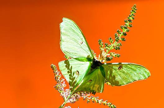 Randall Branham - Luna Moth on Astilby orange back Ground
